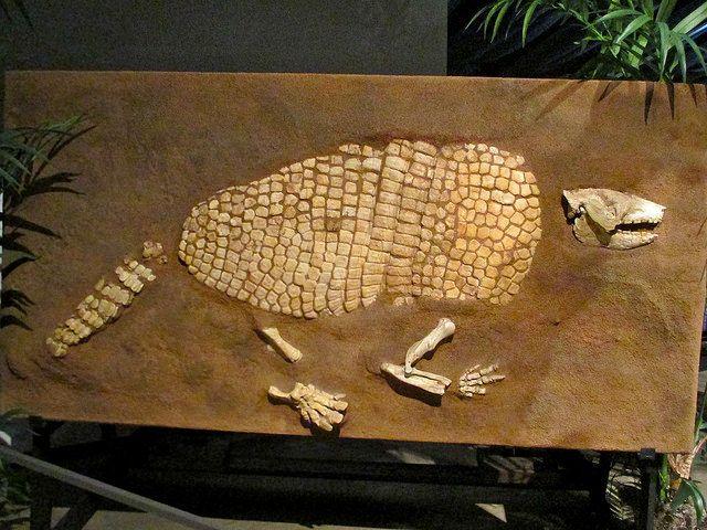 Holmesina, Giant Armadillo | Fossils | Dinosaur fossils ...