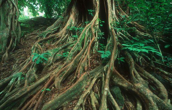 © WWF-Canon/Martin Harvey Ficus, strangler fig tree, Congo ...