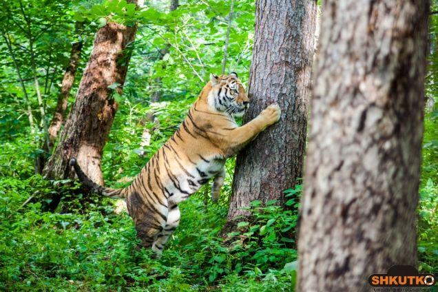 тигр Жорик