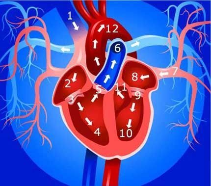 Outstanding summary of the circulatory system, includes great pictures. #humanheart                                                                                                                                                                                 Más
