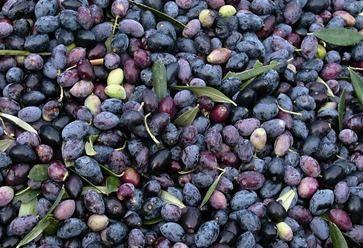 Koroneiki olives - Harvested November-December