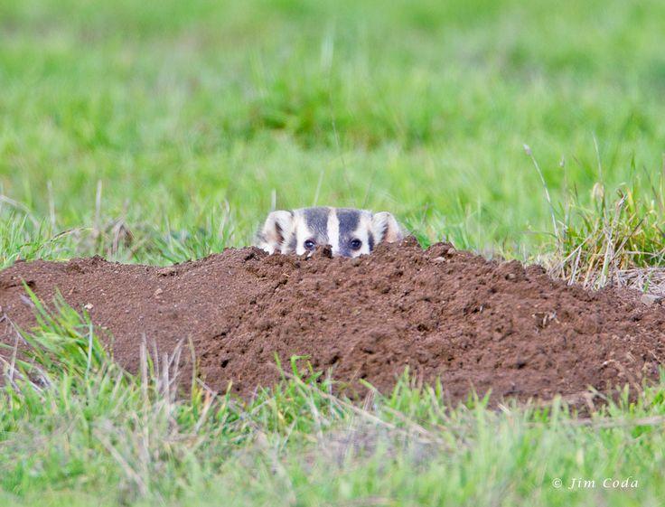 american badger | American Badger, Point Reyes National Seashore | Badger Images