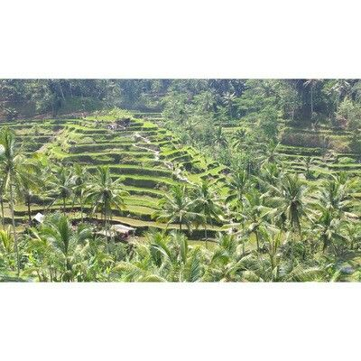 Rice fields, Ubud, Bali. #ubud #bali