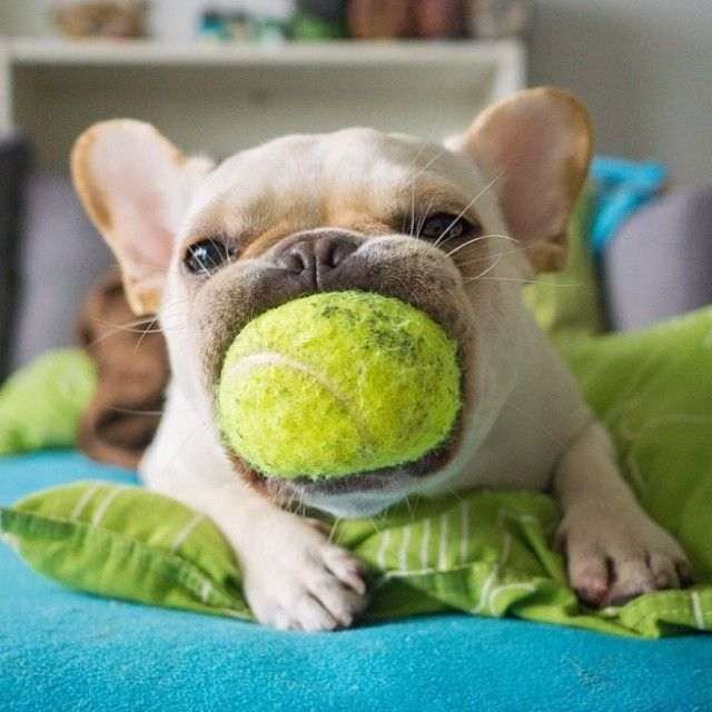 """Dis one, i like dis one"", French Bulldog picks his favorite Tennis Ball, Double Tap if you want one like this"