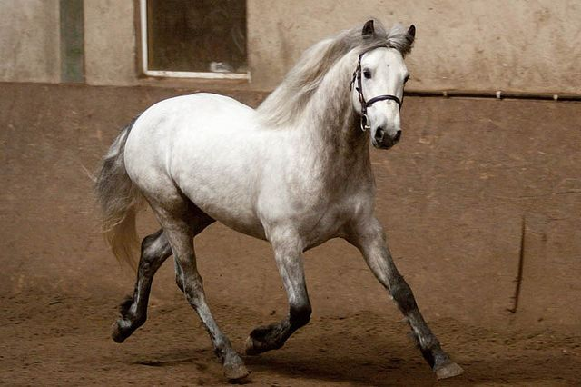 fuckyeahnoblesteeds:  Connemara Ponies by Satu Pitkanen.