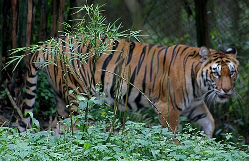 conservation of tigers essay The tiger is an iconic species tiger conservation attempts to prevent the animal from becoming extinct and preserving its natural habitat this is one of the main objectives of the.