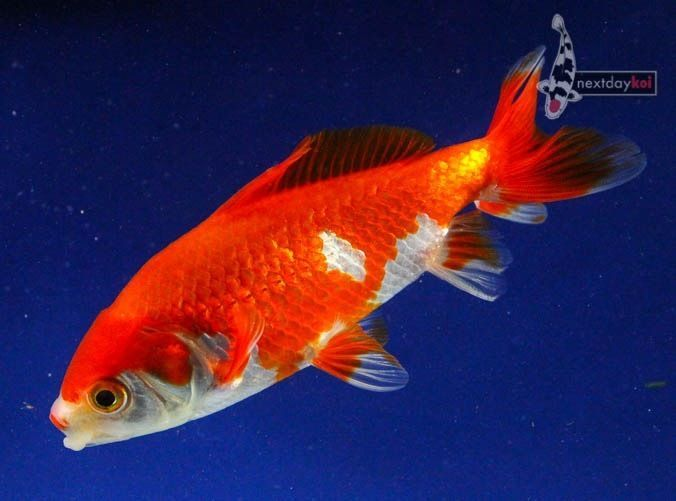 17 best images about goldfish on pinterest ryukin for What fish can live with goldfish