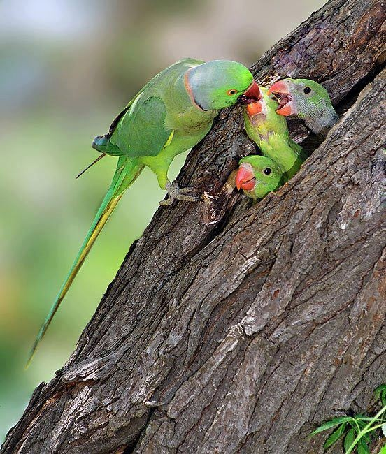Indian Green Parrot Baby 697 best images...