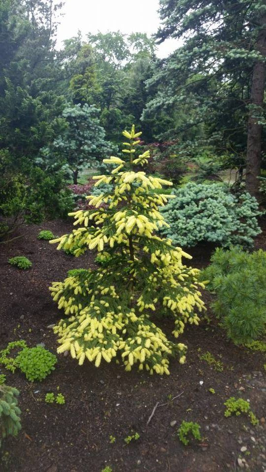 The 25 best dwarf evergreen trees ideas on pinterest for Small slow growing evergreen trees