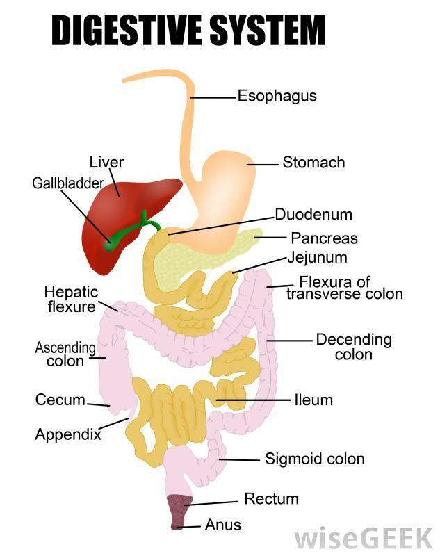Human Digestive System Diagram