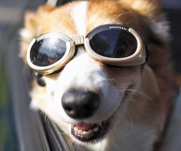 With the doggy goggles your canine friend will be able to enjoy a warm sunny day without exposing their eyes to harmful UV rays. The specially designed goggles feature an ultra wide nose bridge and a deep lens that protects the eyes from all external threats.