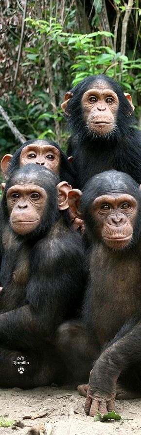 Lecture d'un message - mail Orange These are chimpanzees from the ape family.
