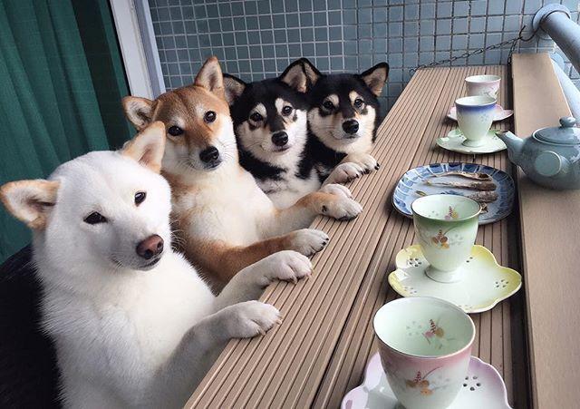 It's time for morning tea! You want to join us? 土曜朝のお茶の時間 仲間に入りたい?どうぞ。 ・ ・ #ご協力ありがとう by ママ ・ ・ #proudshibas #toppetsnews #shibainugram_feature #9gagcutedog #shiba #shibainu #shibagram #shiblings #shibalings #shibalover #shibamania #shibapuppy #shibaholics #shibasisters #shibastagram #loveofmylife #柴犬の癒し #多頭飼い #柴犬マニア #愛してるよ #愛してるが止まらない #日本犬 #柴犬 #赤柴 #黒柴 #白柴 #赤根川辰巳荘 by yokokikuchi_ks