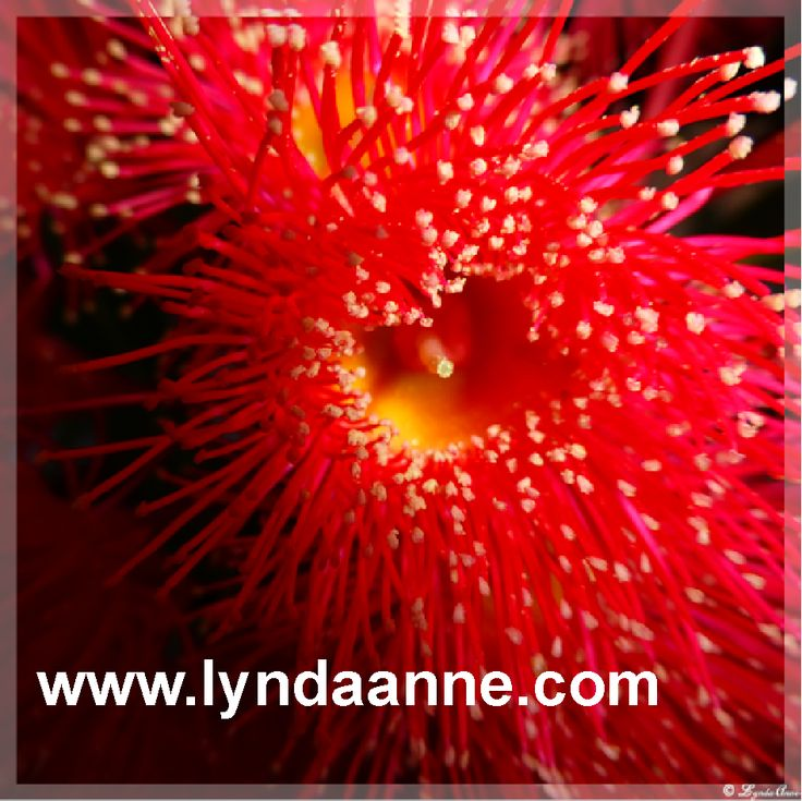 Fabric Panel - Here's a lovely bright red eucalyptus flower I've printed onto fabric.  It & others in the series are available for you to use in your craft projects!  Note the coloured seam allowances.   #fabricpanel #flower #quilting #fabric #flower  www.lyndaanne.com