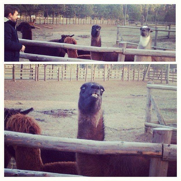 Best 25+ Llama Face Ideas On Pinterest