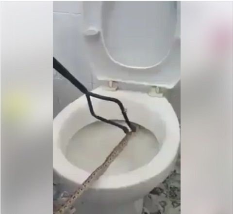 Shocking! Man Finds Snake Hiding in His Toilet While Trying to Make Use of It (Photos)