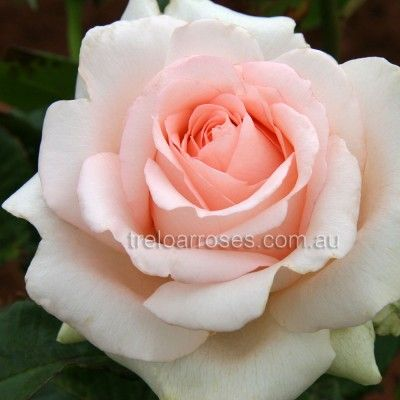 Poetry :- The large unusual blooms have a strong fragrance. Worth trying.