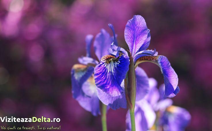 🌺 Stânjenelul de stepă albastru este o plantă a cărei flori sunt discret parfumate. Florile se cultivă ca plantă decorativă, ca plantă medicinală dar este folosită și în industria de parfumuri / cosmetică 👍. Frunzele și florile sunt o sursă importantă de vitamina C. Ca indicații terapeutice  ameliorează inflamaţiile organelor repiratorii, diminuează tusea convulsivă, previne pneumonia, cefaleea, tubercloza şi înlătură durerile menstruale. #viziteazadelta 💖 #floridelta