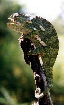 Chameleon.  Madikwe Game Reserve,  South Africa.