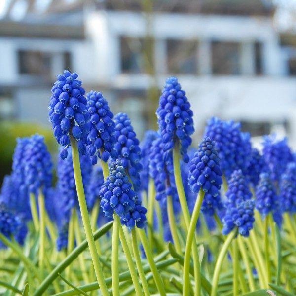 Garten blumen blau  38 besten Blau Bilder auf Pinterest | Blau, Traubenhyazinthe und ...