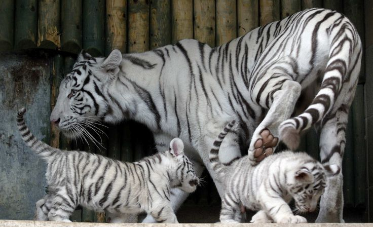 White Siberian Tiger Cubs 630x383 An Indian White
