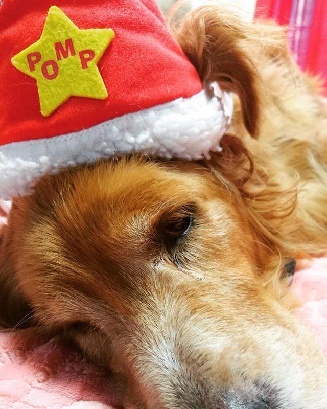 おりおんサンタ🎉休憩中🐶 #ゴールデンレトリバー  #goldenretriever  #大型犬 #池田オリオン #愛犬 #ゴルちゃん #クリスマス