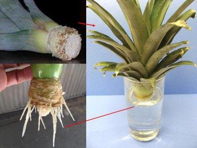 Come coltivare l'ananas in casa usando il ciuffo