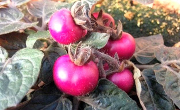 עגבנייה סגולה וחציל אדום פיתוח חדש - ובריא יותר - mako