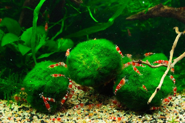 Marimo balls and shrimp by andre grassi freshwater for Red algae in fish tank