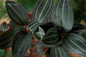 Fekete Ékszerorchidea