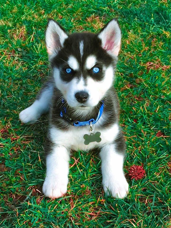 Wer Kennt Diese Hunderasse Kennst Du Es Wenn Nicht Hier Die Antwort Es Handelt Sich Um Einen Pomsky Hunde Rassen Hunde Babytiere