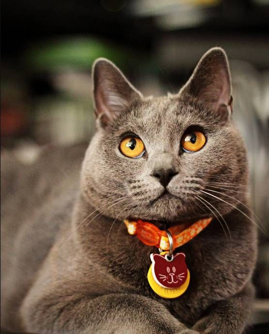 Chartreux, Domestic cat and Rare breeds on Pinterest
