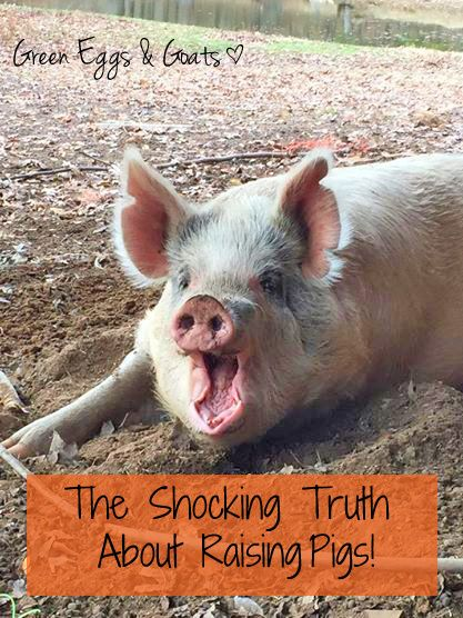 The Shocking Truth About Raising Pigs! | http://www.greeneggsandgoats.com/2014/12/shocking-truth-raising-pigs.html#sthash.3qBjVQpz.dpbs