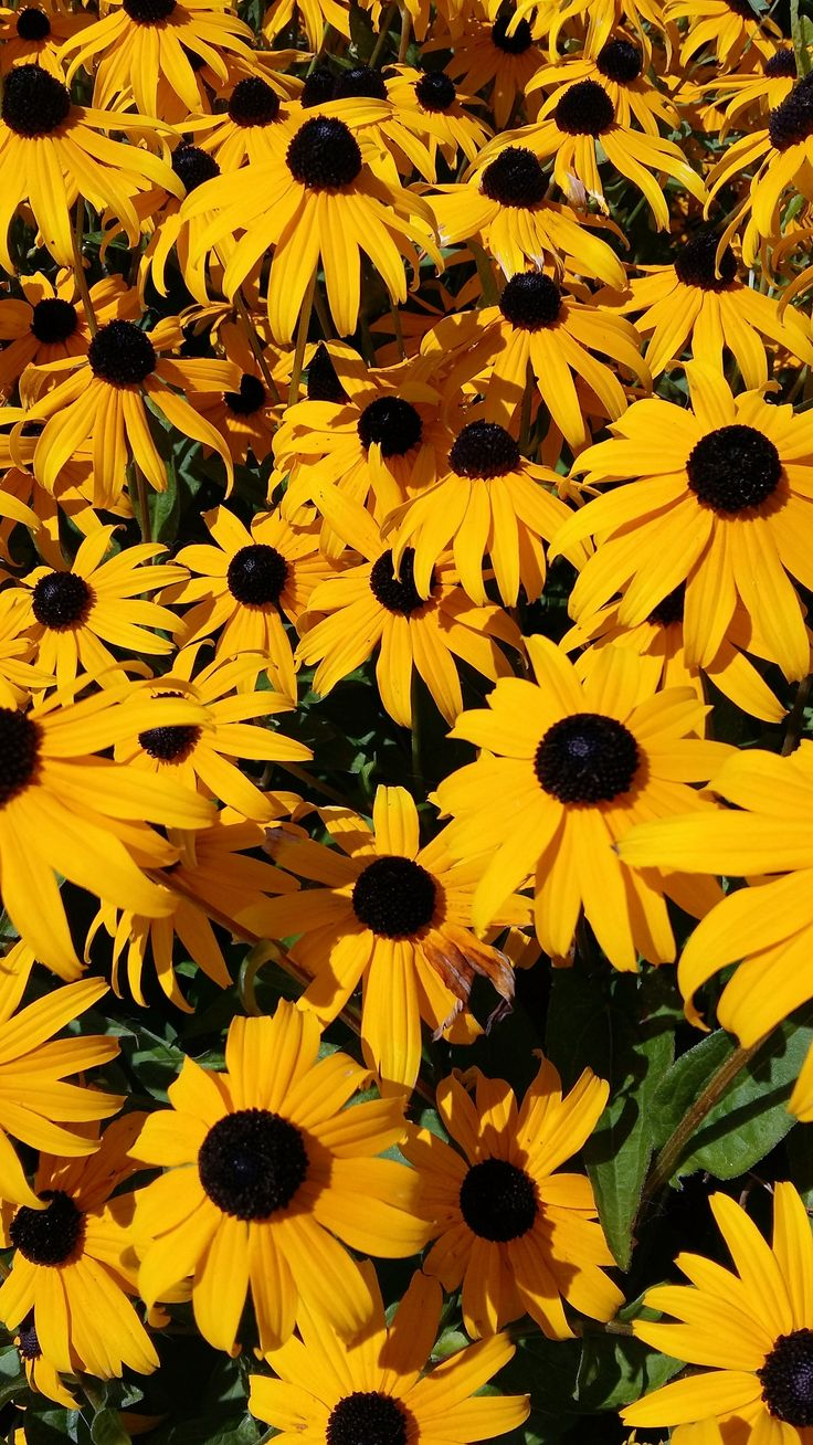 See more ideas about flower aesthetic, planting flowers, pretty flowers. A summer Bounty of eyes..Black eye Susans   Eyes wallpaper