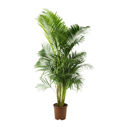 CHRYSALIDOCARPUS LUTESCENS Potted plant, Areca palm