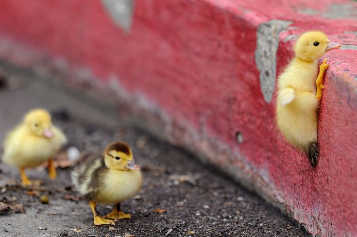 A duckling climbs a curb near Ellis Lake in Marysville, Calif. on March 26