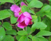 Bulbous Plants - Bulbous Plants for Sun - Paeonia mascula mascula