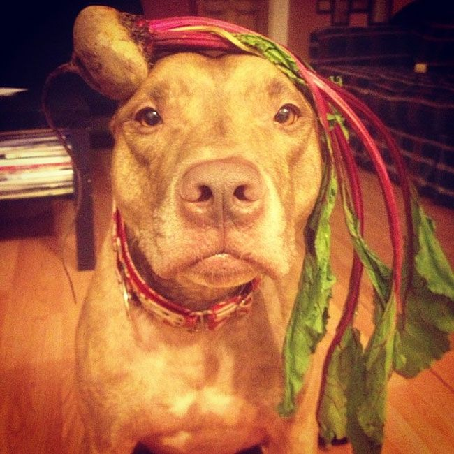 Best Scout The Pitbull Images On Pinterest Scouts Pitbull - Owners balances objects on dogs head