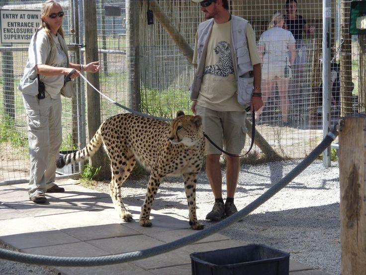 Trainer moving Cheetah from one section to another. (Cheetah Outreach, Near Somerset West just outside Cape Town)