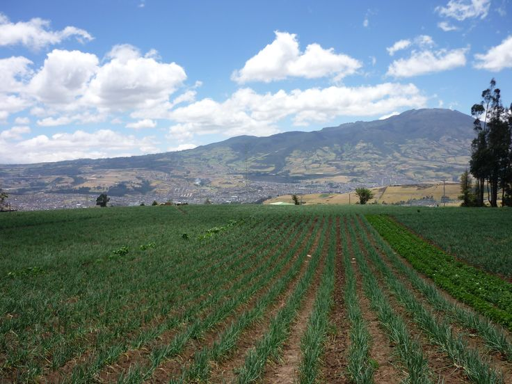 Cultivo de cebolla al fondo el Volcán galeras. Buesaquillo - Pasto - Nariño - Colombia