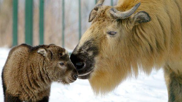 A Sichuan Takin calf stands beside her mother at Berlin's Tierpark Friedrichsfelde Zoo.
