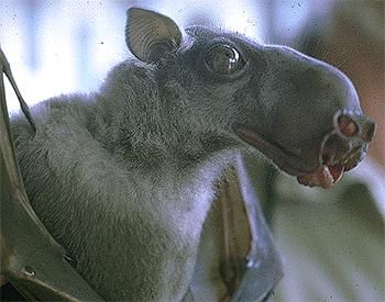 The Hammer-headed Fruit Bat has a wingspan of 686 to 970 millimeters and males are much larger than females, averaging 400 grams while females average only 275 grams.