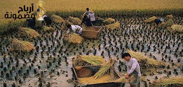 مشروع صناعة الورق من قش الارز حيث تعد فكرة تحويل قش الأرز إلى لب ورقي واحدة من الأفكار المهمة للغاية إلا أنها لا تلقى انتشارا حقيقي Farmland Outdoor Vineyard