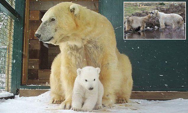 Polar bear cub caught on camera as it finally ventures outside its den