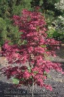 Buchholz & Buchholz Wholesale Nursery | Our Plants | Acer circinatum 'Sunglow' (Sunglow Vine Maple)
