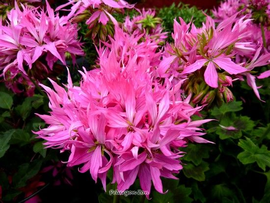 Pelargon Fireworks Pink