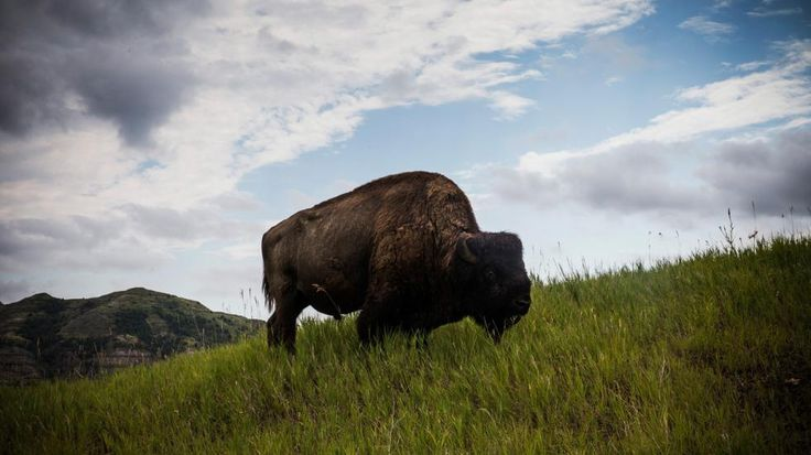 Theodore Roosevelt National Park in N.D. is famous for wildlife viewing. The park is home to a wide variety of Great Plains wildlife including bison, feral horses, elk, bighorn sheep, white-tailed deer and at least 186 species of birds including golden eagles, sharp-tailed grouse, and wild turkeys. (Andrew Burton/Getty Images)
