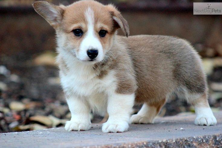 Cute Welsh Corgi Puppygilgit-skardu-baltistan | dogs, cats ...
