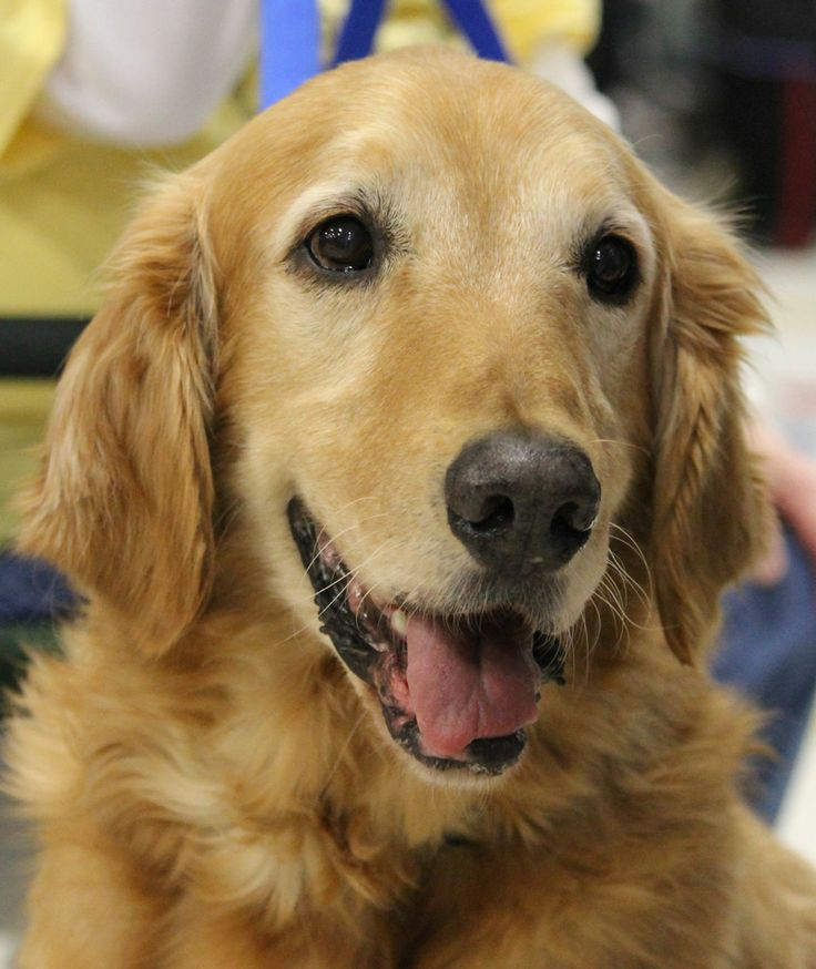 This Is Ben an adult male. He is a puppy mill survivor. He is neutered, current on vaccinations, has good house manners, walks well on leash & good with dogs. Older kids or adult only home. Ben can be stubborn & he would prefer a canine pal in his forever home. Golden Retriever Rescue of Atlanta, GA. http://www.petfinder.com/petdetail/27515645/