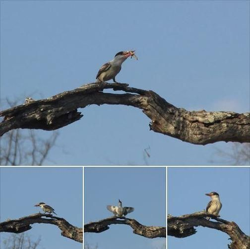 Spotted by Tshepo on a game drive in the Okavango: striped kingfisher in a leadwood tree with grasshopper prey; finally manages to subdue and swallow it; celebrates with territorial display!